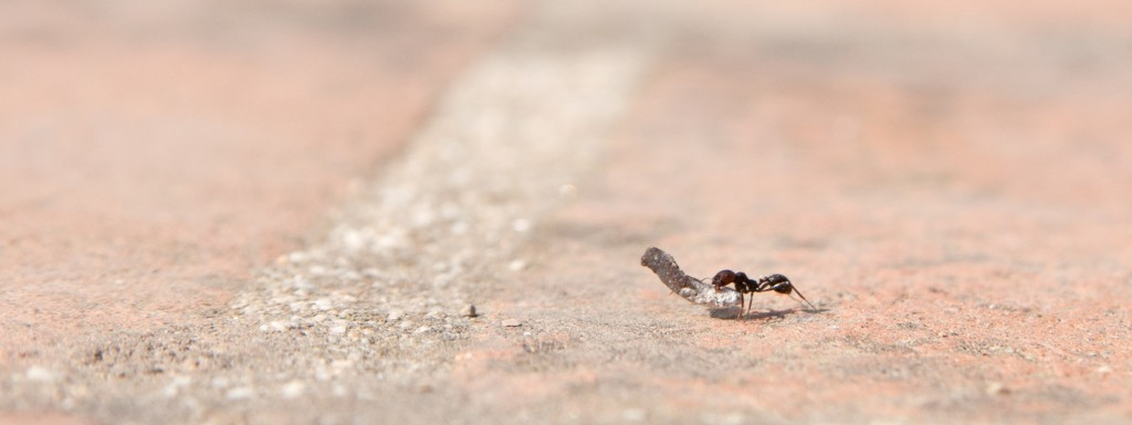 close-up of an ant carrying a heavy object